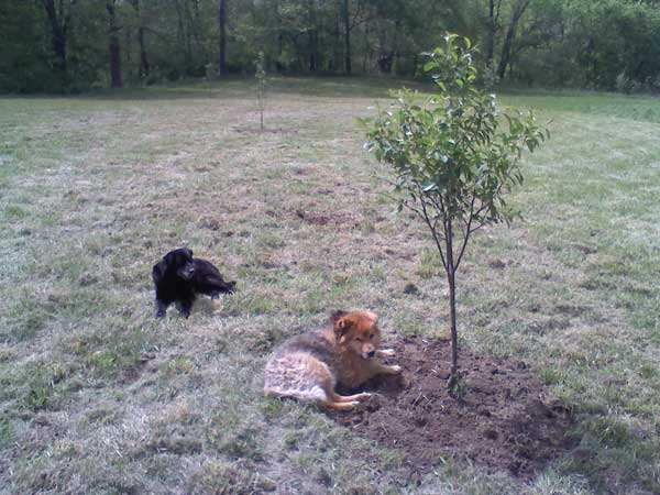 Pups in Newly Planted Orchard